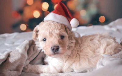 A puppy for Christmas?